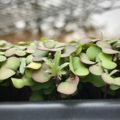 "Red Russian Kale Microgreens with ""First True Leaf"""