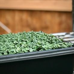 Microgreens Tray Ready For Harvest