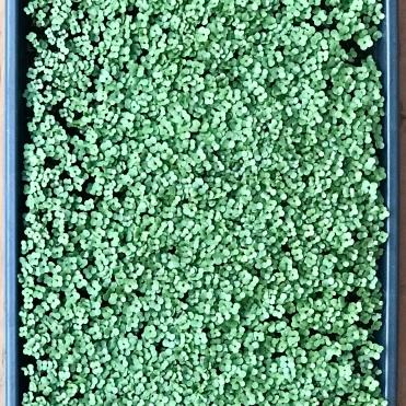 Calabrese Broccoli Microgreens Tray